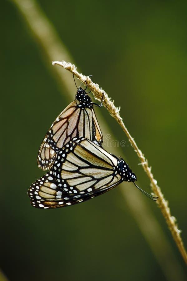Butterflys монарха в влюбленности мексиканськом Vall de Браво стоковое фото rf