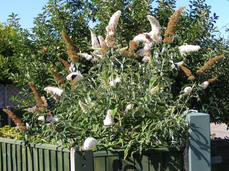 Butterflys em uma árvore de Buddleja imagens de stock