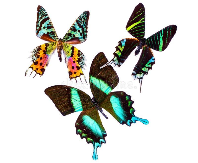 Butterflys tropical photos stock