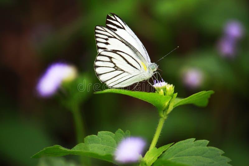 Butterfry obrazy stock