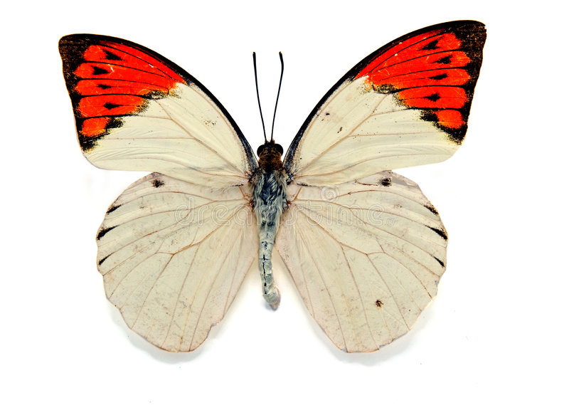Butterfy. Butterfly great orange tip (hebomoia glaucippe stock image