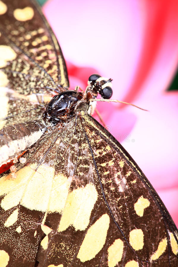 Butterfy em lótus foto de stock royalty free