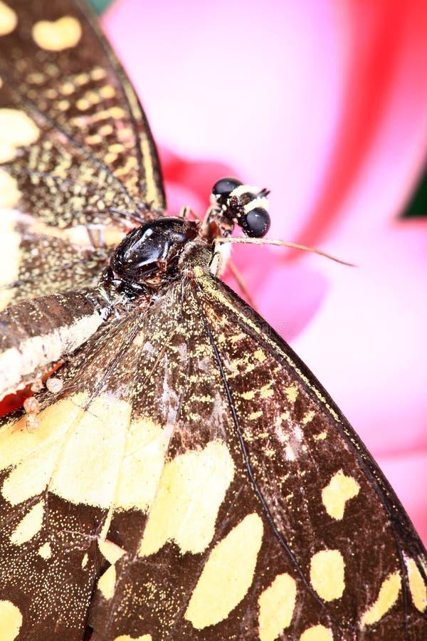 Butterfy en loto foto de archivo libre de regalías