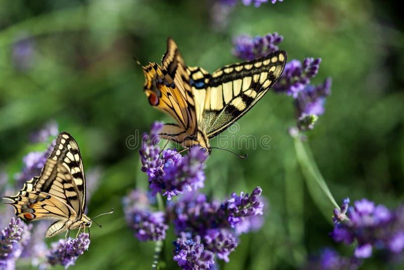 Butterfy na flor violeta imagem de stock royalty free