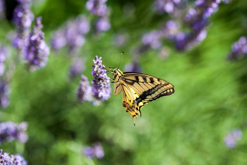 Butterfy på den violetta blomman royaltyfria bilder