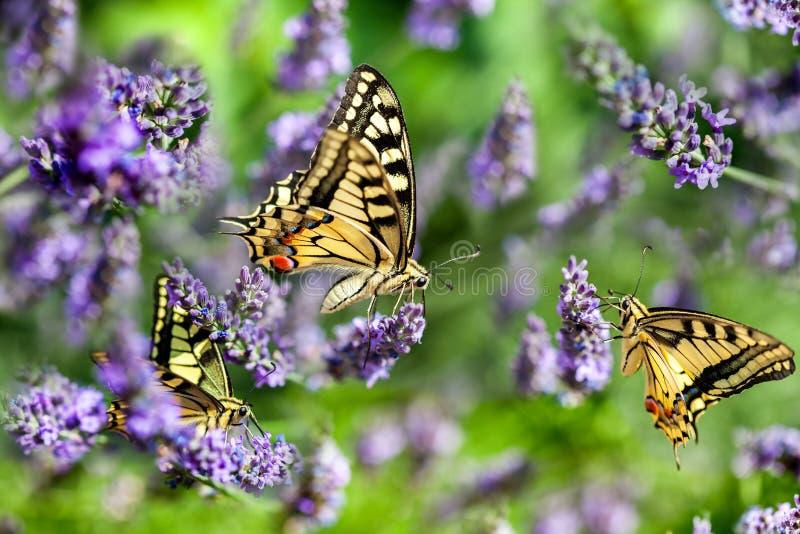 Butterfy på den violetta blomman arkivbilder