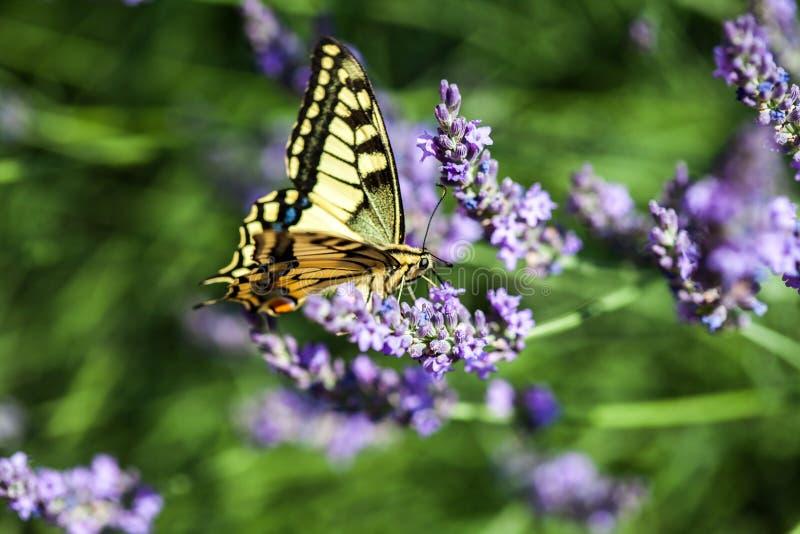 Butterfy på den violetta blomman arkivbild