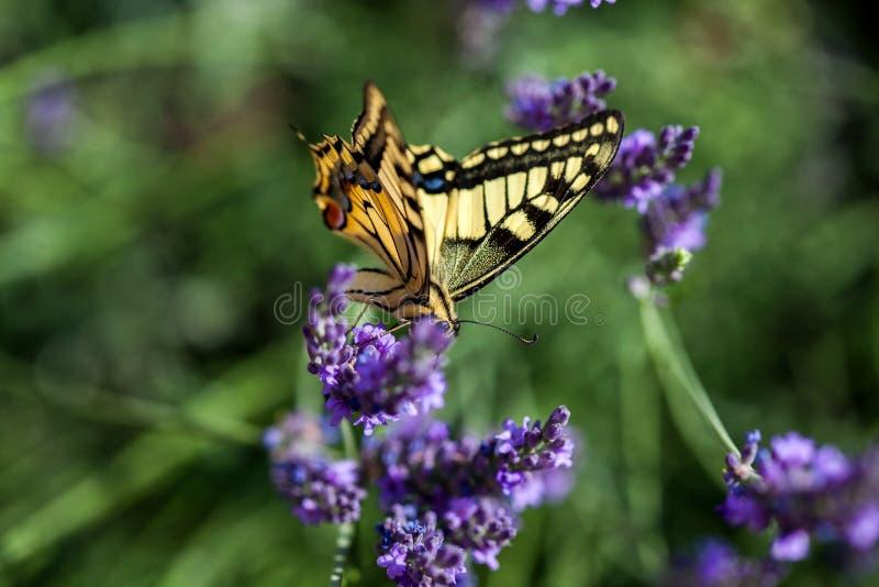 Butterfy på den violetta blomman fotografering för bildbyråer