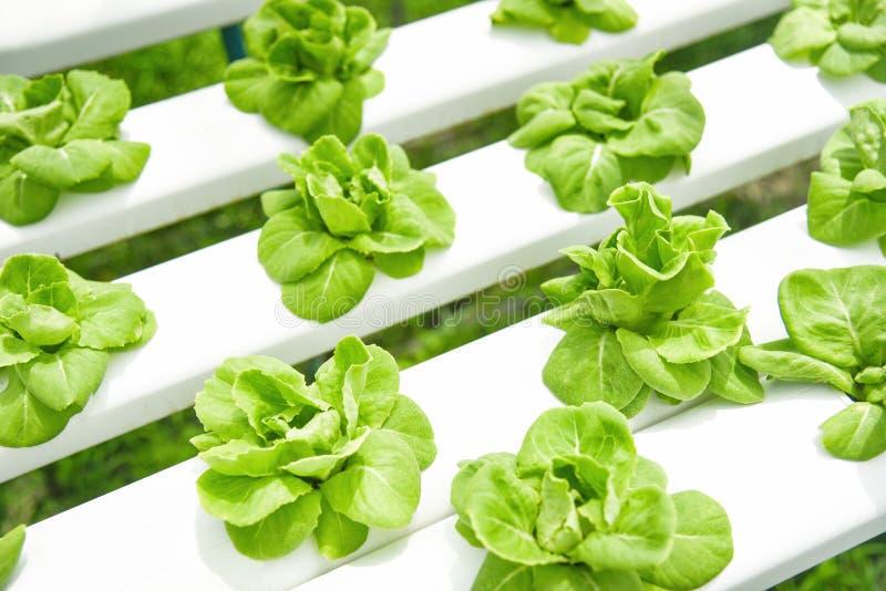Butterhead grönsallat som växer i växter för lantgård för system för växthusgrönsak hydroponic på vatten utan organiskt jordjordb arkivbilder