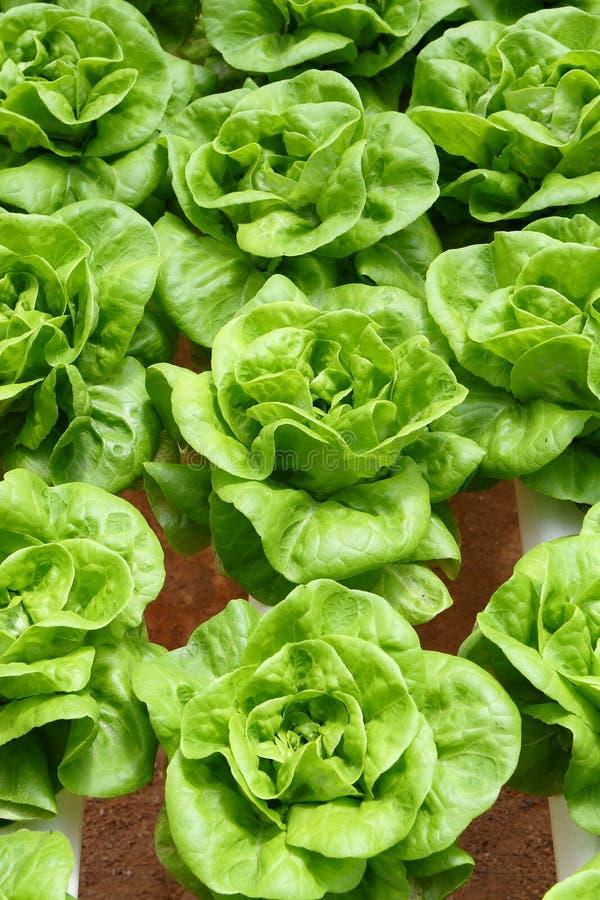 Download Butterhead Lettuce stock photo. Image of salad, soil - 10756810