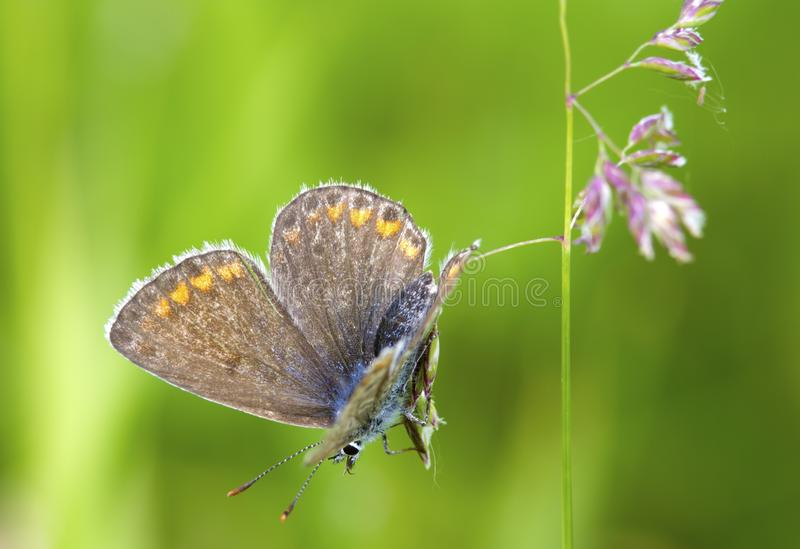 Butterlfy Cacyreus marshallimakro arkivbilder
