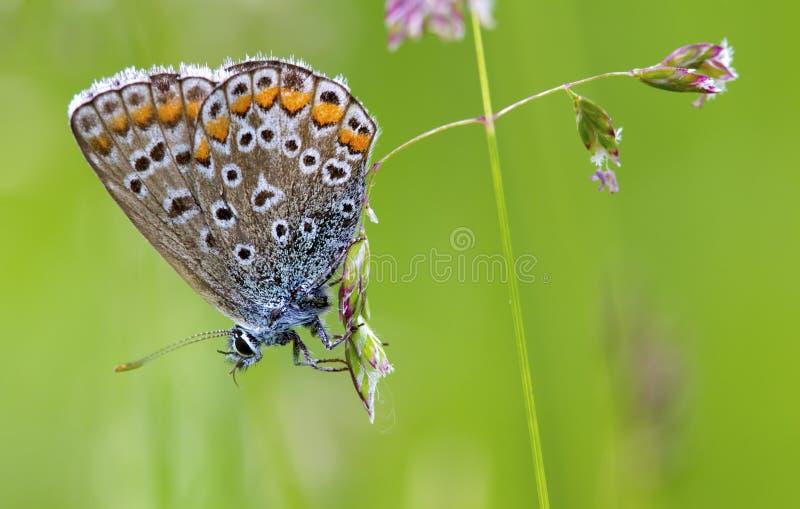 Butterlfy Cacyreus marshallimakro royaltyfri bild