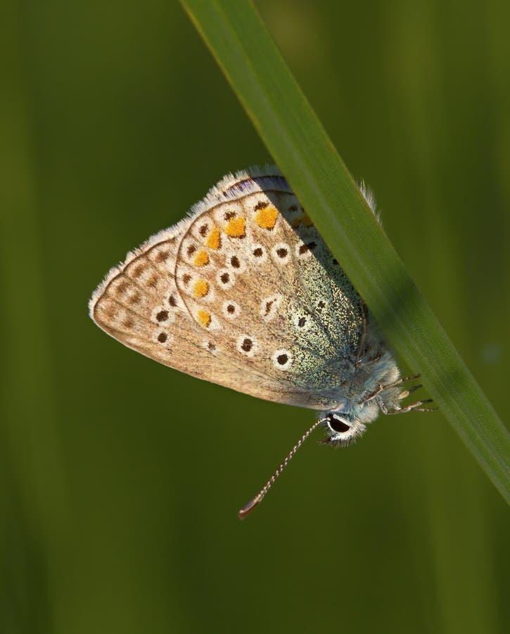 Butterlfy Cacyreus marshallimakro i en grön äng arkivfoto