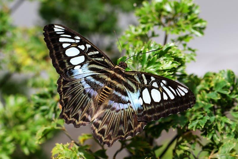 Butterlfy tropical de Parthenos Sylvia de las podadoras de la mariposa imagenes de archivo
