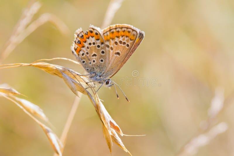 Butterly que se reclina sobre avena salvaje común fotos de archivo libres de regalías