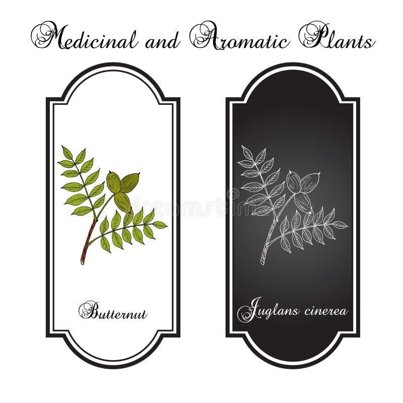 Butternut, Juglans cinerea oder weiße Walnuss, Heilpflanze vektor abbildung