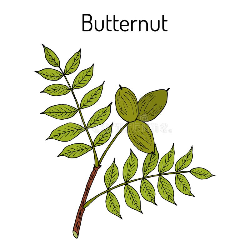 Butternut, Juglans cinerea oder wei?e Walnuss, Heilpflanze vektor abbildung