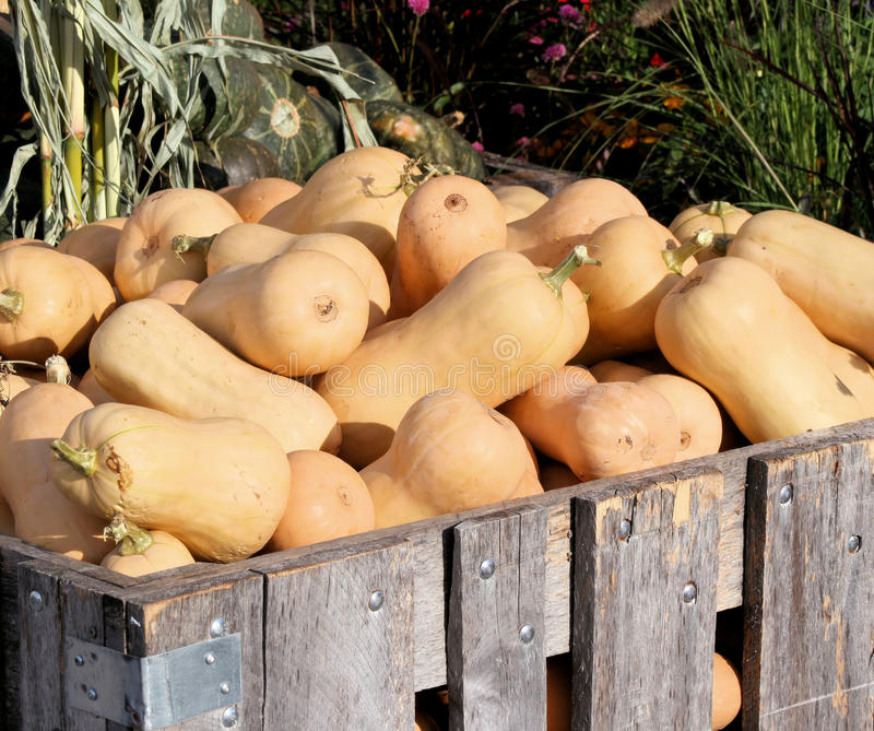 Butternut Squash. Fresh picked Butternut squash at an outdoor farmers market stock photography