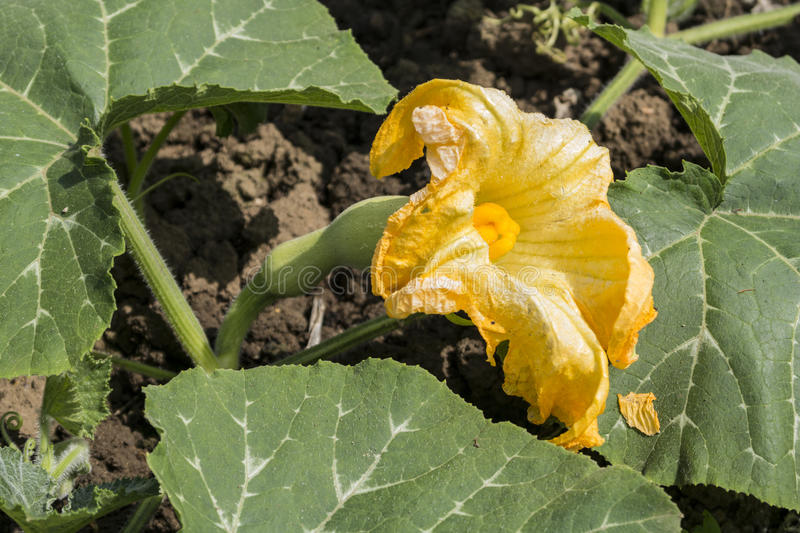 Butternut Squash Flower stock photography