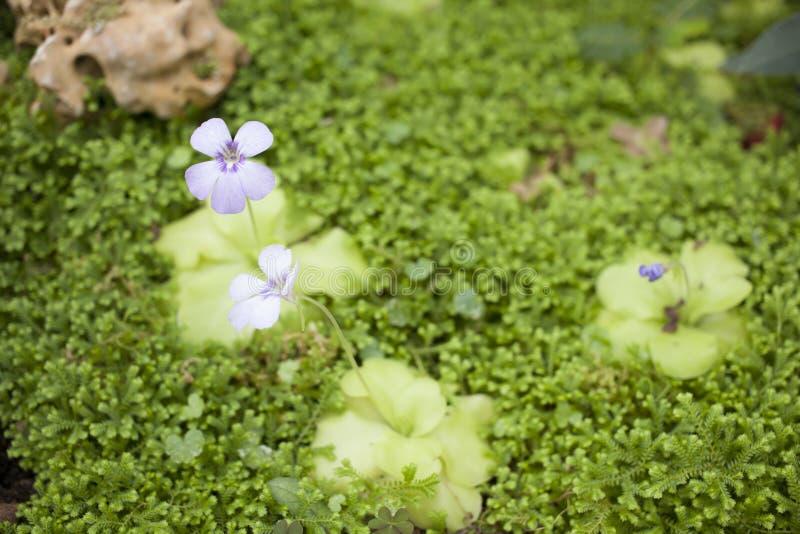 Butterwort arkivbilder
