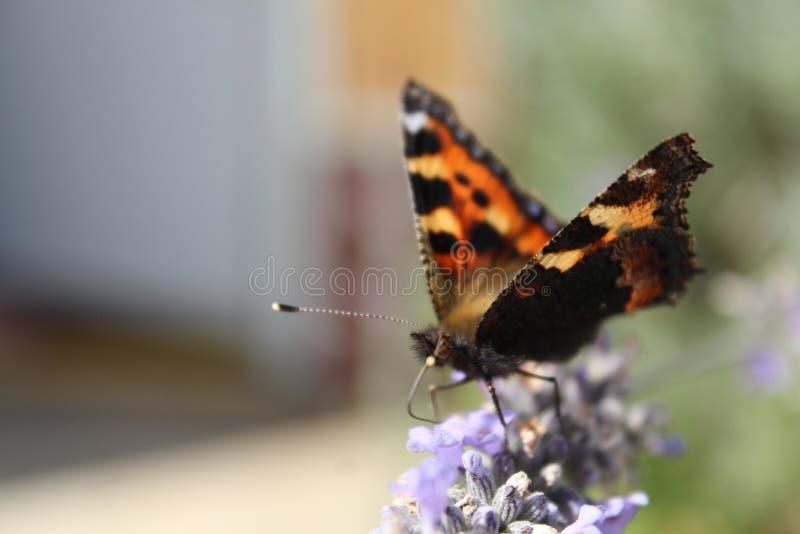 Butteryfly royaltyfri bild