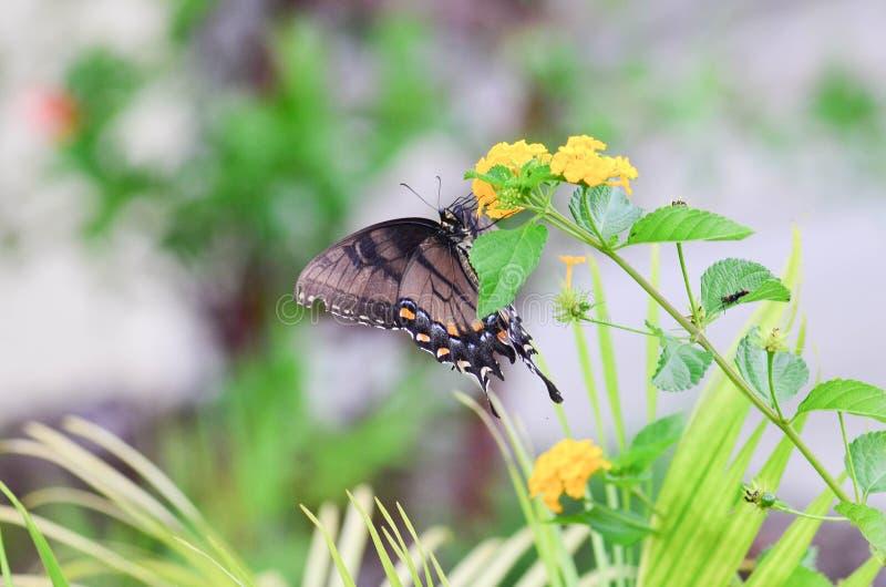 Butteryfly na krwawniku obraz stock