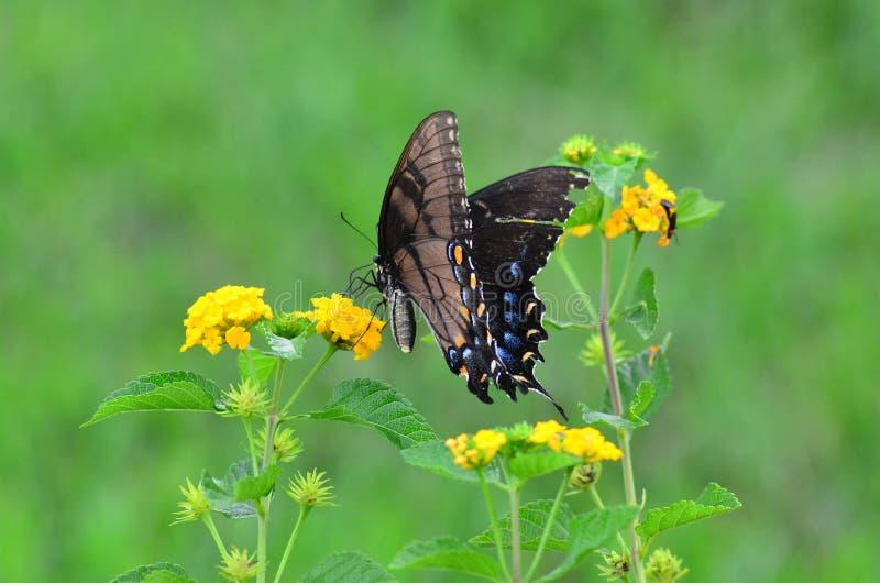 Butteryfly na krwawniku zdjęcie royalty free