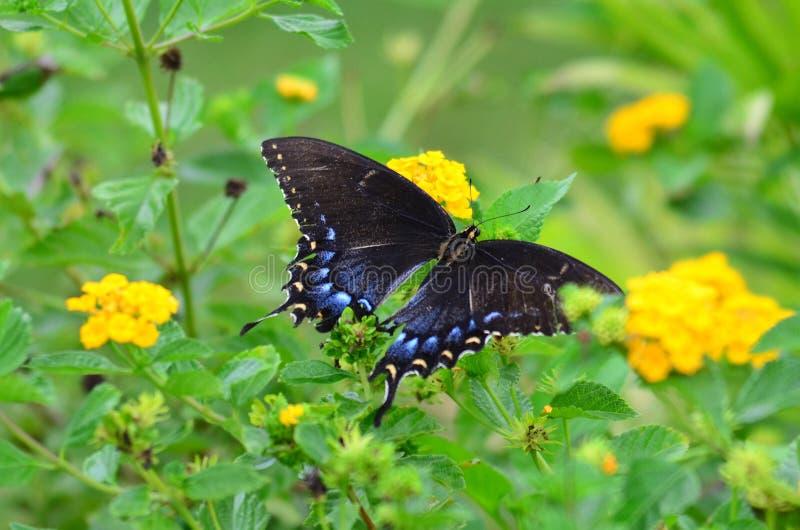 Butteryfly na krwawniku zdjęcie stock
