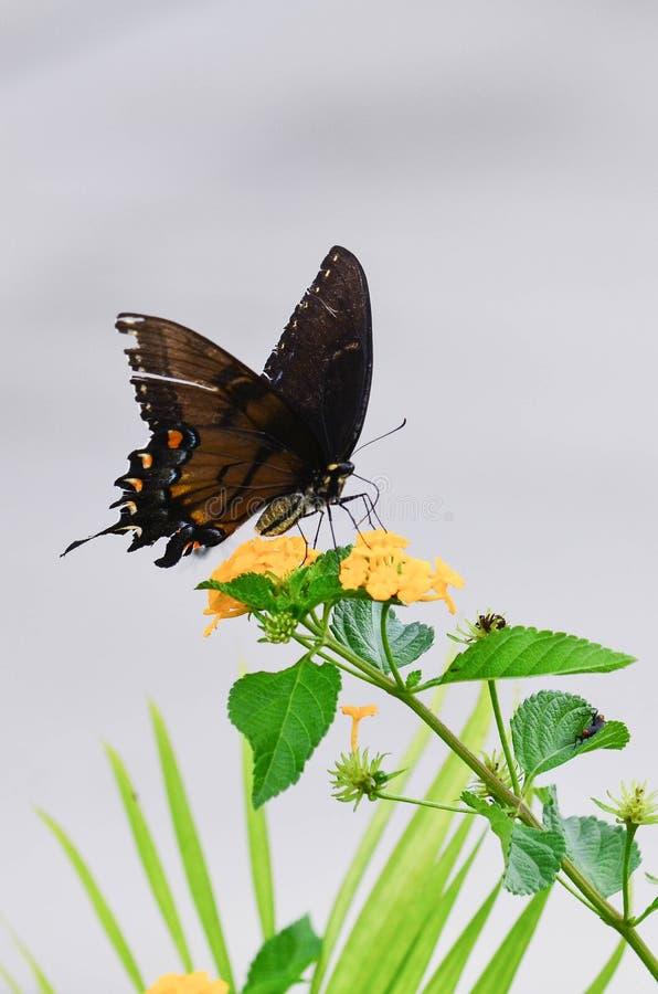 Butteryfly na krwawniku fotografia royalty free