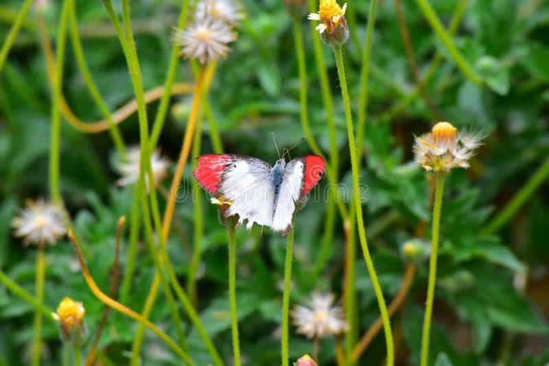 Buttetfly fotografie stock