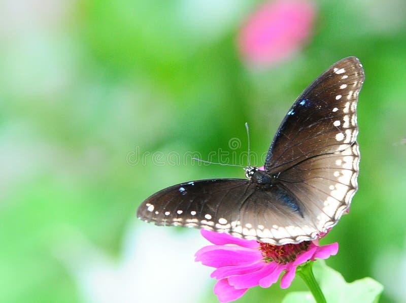 buttfly伟大的eggfly hypolimnas bolina 免版税图库摄影