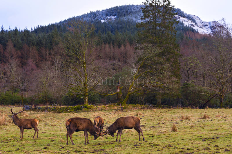 Butting Red deers stock photography