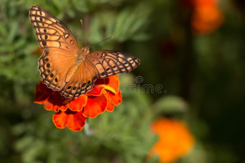 Buttlefly el sentarse anaranjado, amarillo y negro colorido en una flor roja del tagete en el jardín durante verano imagen de archivo libre de regalías