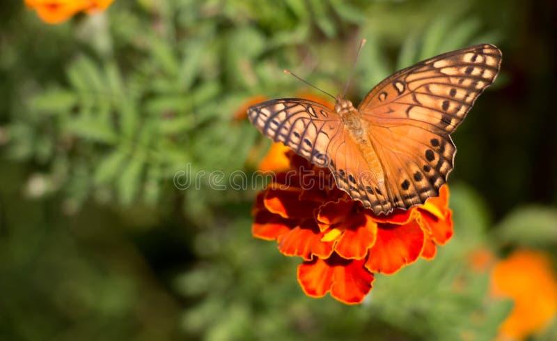 Buttlefly el sentarse anaranjado, amarillo y negro colorido en una flor roja del tagete en el jardín durante verano fotografía de archivo libre de regalías