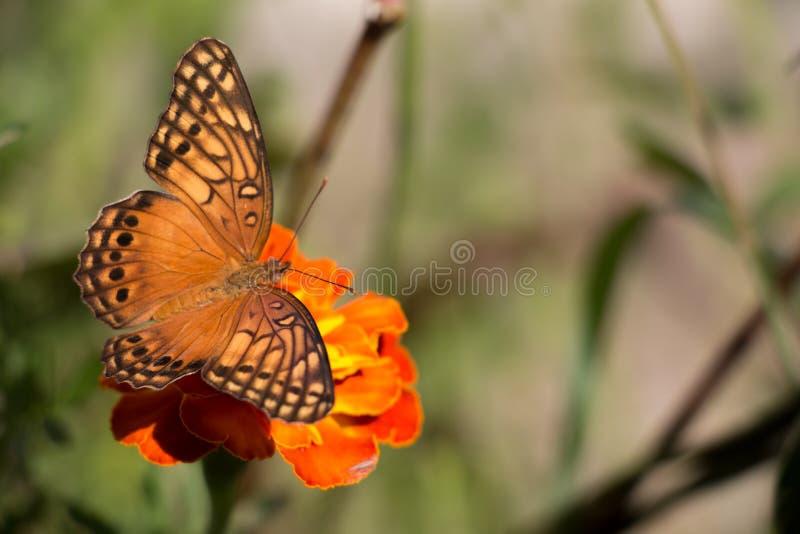 Buttlefly el sentarse anaranjado, amarillo y negro colorido en una flor roja del tagete en el jardín durante verano imágenes de archivo libres de regalías