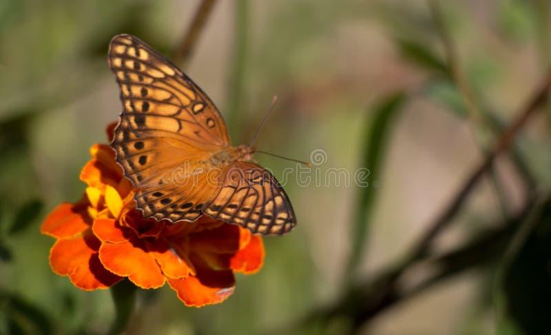 Buttlefly el sentarse anaranjado, amarillo y negro colorido en una flor roja del tagete en el jardín durante verano fotos de archivo libres de regalías