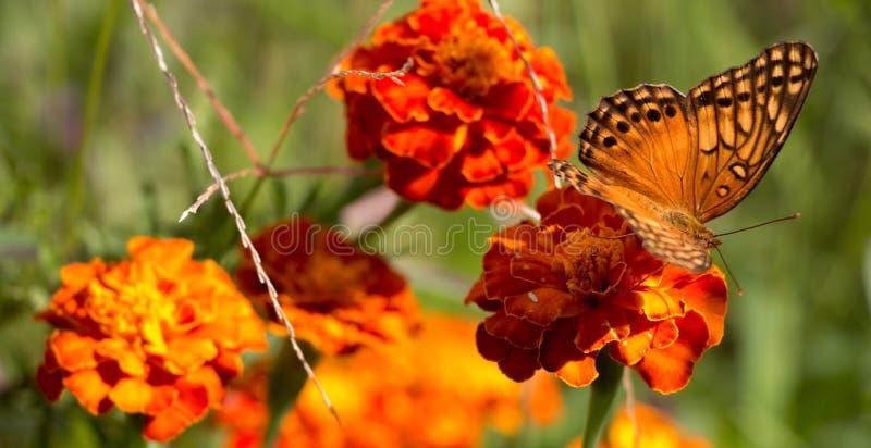 Buttlefly el sentarse anaranjado, amarillo y negro colorido en una flor roja del tagete en el jardín durante verano imagenes de archivo