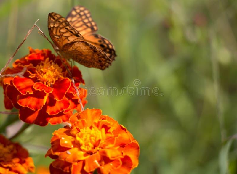 Buttlefly el sentarse anaranjado, amarillo y negro colorido en una flor roja del tagete en el jardín durante verano fotos de archivo