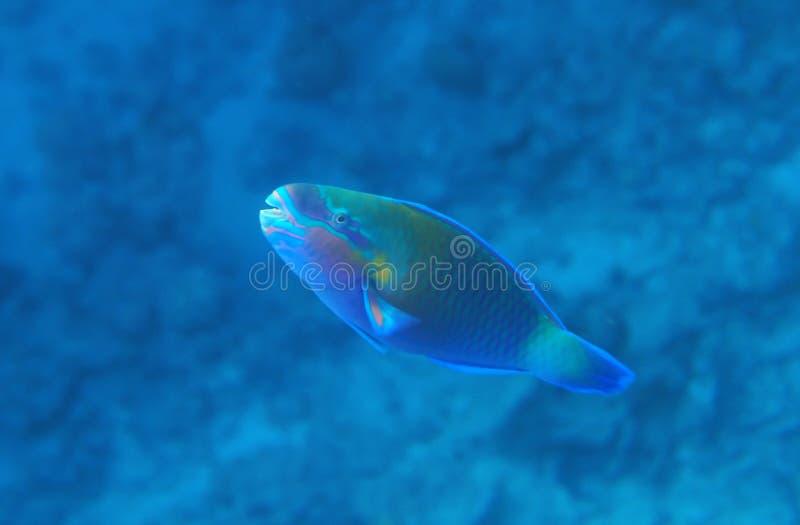 Buttlehead Parrotfish royalty free stock photo