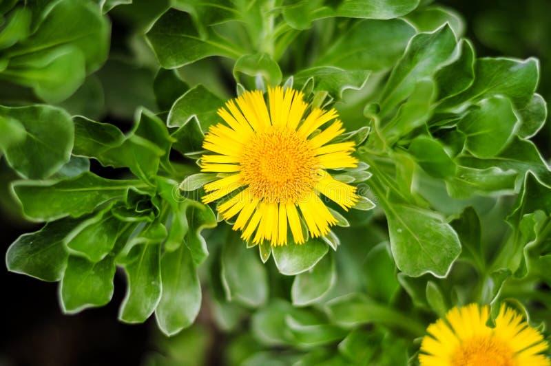 "Button ""Botonera"" plant know also as sea daisy or beach daisy Asteriscus sericeus, Gran Canaria, Canary Island royalty free stock photography"