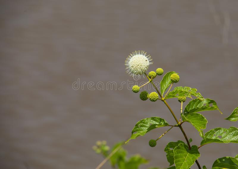 Button Bush Blooming at Water`s Edge royalty free stock photo
