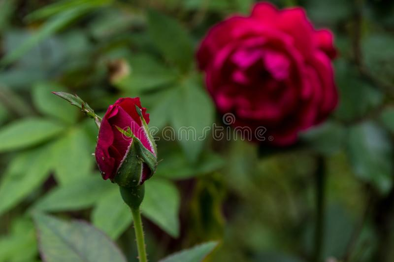 Button of the color red rose. Beautiful button of the color red rose royalty free stock photos