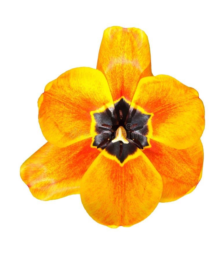 Button tulips on white background stock photos