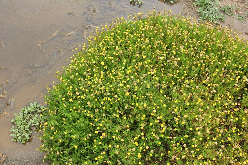 Buttonweed - invasive species royalty free stock image