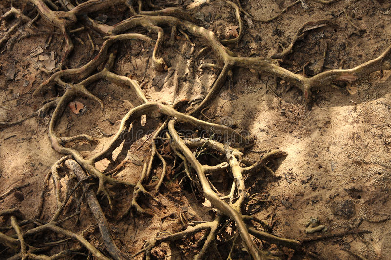 Download Buttress Root tree stock photo. Image of soil, environment - 24430316