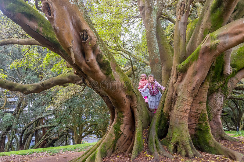 Buttress roots of Moreton Bay fig tree. In Albert Park, Auckland, New Zealand stock photo