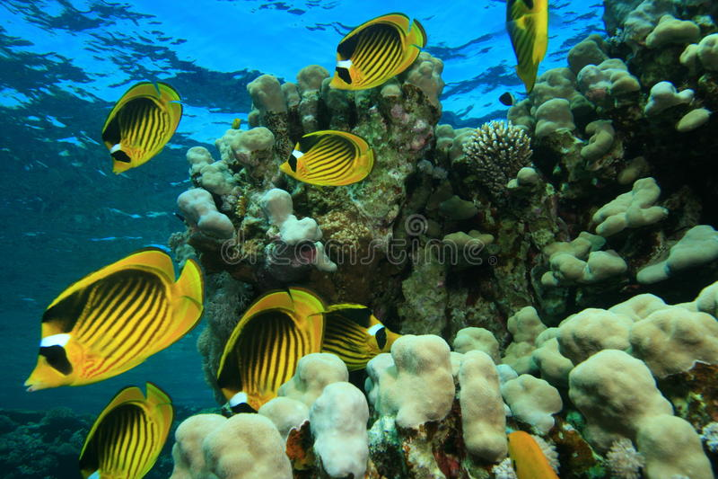 Buttrflyfish auf einem flachen Korallenriff stockbilder