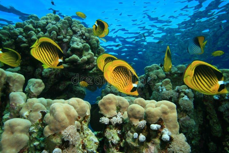 Buttrflyfish en un filón coralino bajo fotografía de archivo