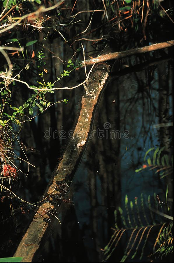 Butwiejący drzewny fiszorek obrazy royalty free