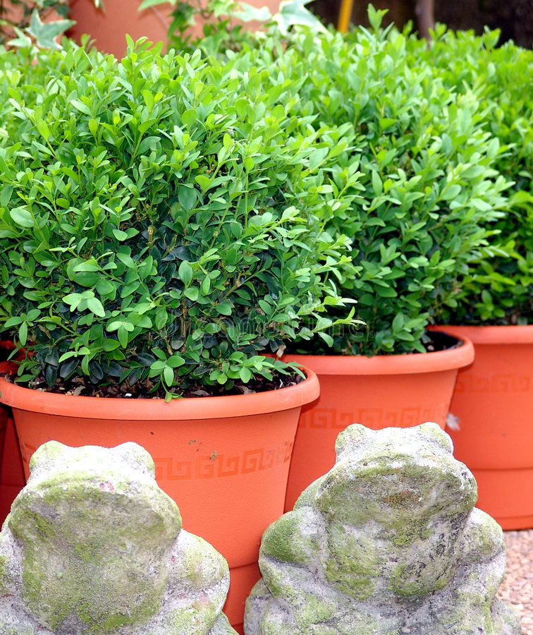 Download Buxus de Bush (Buxus) photo stock. Image du potted, buisson - 8671780